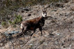 Chamois dans le Parc National du Grand Paradis
